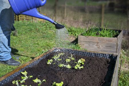 Blue watering can pours water on young lettuce plants in a wooden raised bed, vegetable cultivation in a rural country garden, selected focus, narrow depth of field