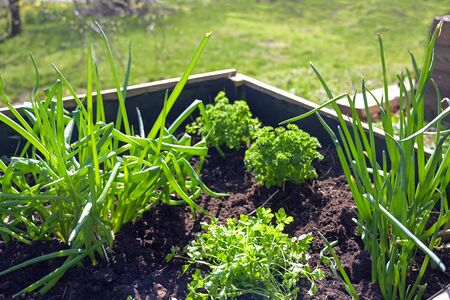 Raised wooden herbs bed with parsley and onions in in a country garden, selected focus, narrow depth of field