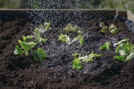 Watering of young lettuce seedlings, freshly planted in dark soil in a raised patch, vegetable cultivation in the own garden, copy space, selected focus, narrow depth of field