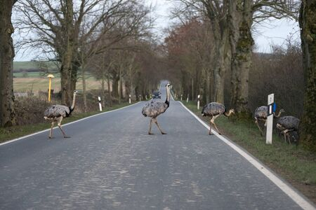 American greater rheas or nandu (Rhea americana) cross a country road in front of a driving car in Mecklenburg-Western Pomerania, Germany, dangerous for traffic since a few animals escaped from a farm, copy space, selected focus Standard-Bild