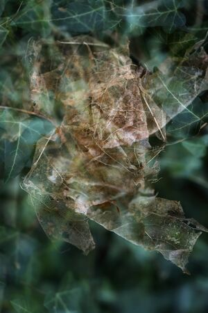 Dried maple leaf from last year is getting caught in the evergreen ivy hedge, abstract nature metaphor through multiple exposure, copy space, selected focus Banque d'images
