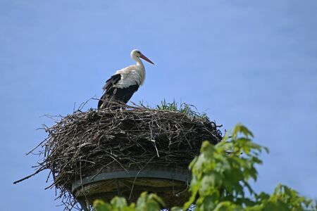 White stork (Ciconia ciconia) on the nest on a pole, the large bird is returned from the wintering grounds and waits for its partner, blue sky with copy space