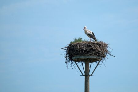 White stork (Ciconia ciconia) on the nest on a pole is waiting for its partner to return from the wintering grounds, the large birds are breeding in Europe, copy space