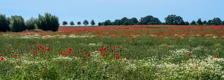 Field with poppy flowers and chamomile in a wide landscape, trees and bushes on the horizon against the blue sky, panoramic format, copy space, selected focus