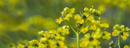 Blooming common rue or herb-of-grace (Ruta graveolens) with yellow flowers against a green blurry background, panoramic format, copy space, selected focus, very narrow depth of field