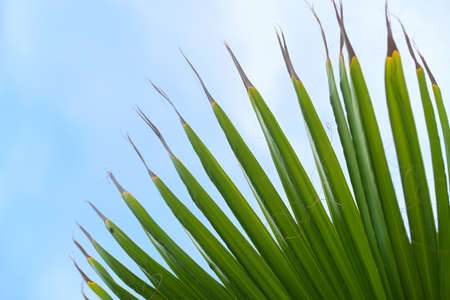 Part of a green palm leaf from below against the blue sky with clouds, abstract nature background, copy space, selected focus