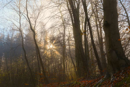 Golden sunrays are shining through a mixed forest on a hazy morning in autumn or winter, nature landscape, selected focus