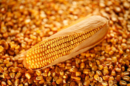 Panicle and corn kernels