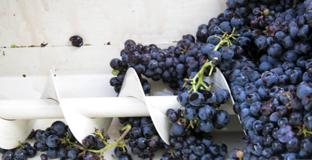 squeezing: Details of modern machine squeezing black grapes.
