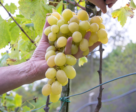 Farmers hands with garden secateurs and freshly white grapes at harvest. Chianti Region, Tuscany, Italy.