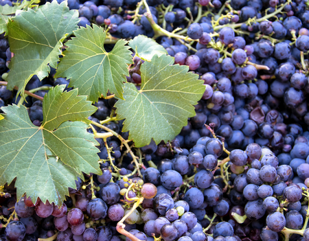 Harvest time, Stack of fresh black grapes, Chianti Region, Tuscany, Italy. Stock Photo