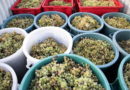 chuckling: Autumn harvest grapes ready to be squeezed, Chianti Region, Tuscany, Italy.