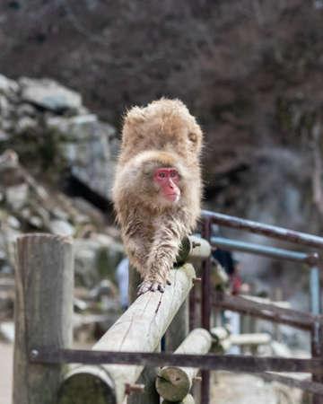 Japanese macaques - Snow Monkeys - at Jigokunadi Park, Yamanouchi, Nagano Prefecture, Japan