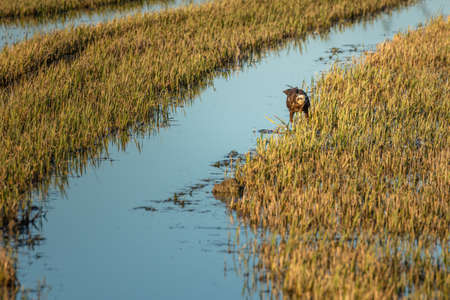 Marsh Harrier (circus aeruginosus) hunting in a rice field in the natural park of Albufera, Valencia, Spain