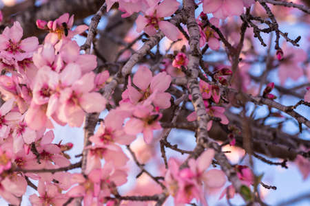 close up of flowering almond trees. Beautiful almond blossom on the branches, at springtime background in Valencia. Colorful and natural background. Spring almond tree pink flowers with branch and blue sky outdoors 版權商用圖片