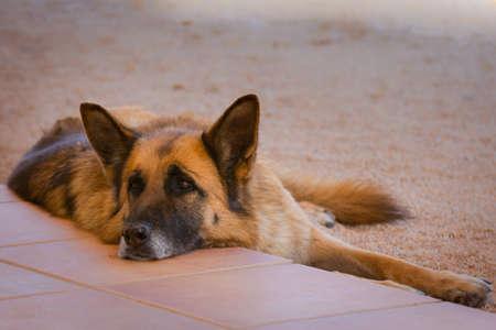 german shepherd in the meadow. portrait of a tired young german shepherd dog in the field.