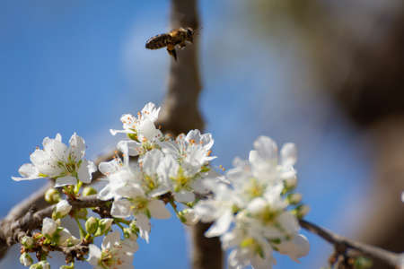 Bee flying over white plum blossoms. Typical spring background. Natural portrait