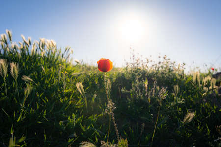Poppy flower in the foreground over a field of wild herbs and the sun in the background at sunset. Typical natural and spring scene