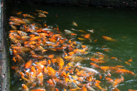 The Imperial City-swarm of koi fish in a pond on the palace grounds. Hue, Vietnam