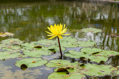 Close up of a wonderful yellow lotus flower on the water. Wallpaper and travel concept.