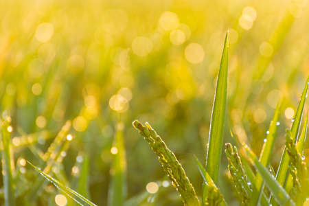 close up of a paddy rice with sunlight and a blurry background