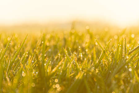 Close-up rice paddy field with yellow sunlight in the morning. Beautiful textures wallpaper