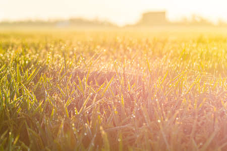 Close up of green paddy rice field under sunrise. Stock fotó