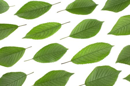 Green leaves cherry isolated on white background