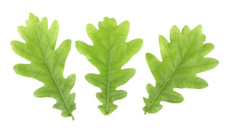 Green leaves oak isolated on white background