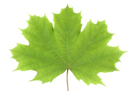 Green leaves maple isolated on white background Archivio Fotografico