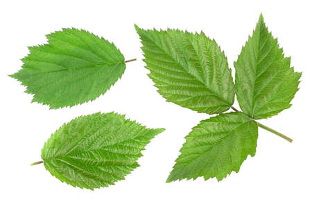 Green leaves blackberry isolated on white background