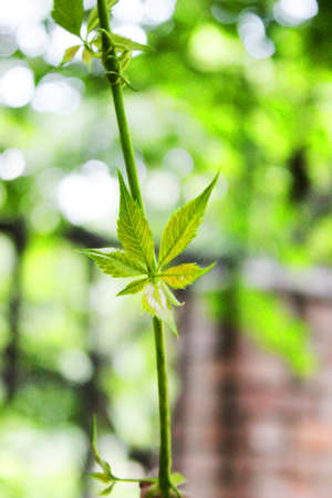 young leaf: hoja joven