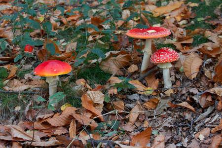 is poisonous: Poisonous mushroom Stock Photo