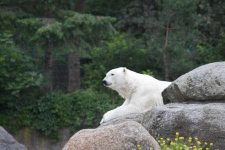 White bear in Berlin zoo Stok Fotoğraf