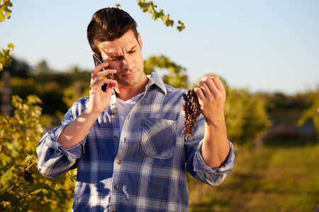 winemaker: Winemaker in vineyard picking blue grapes and talking to mobile