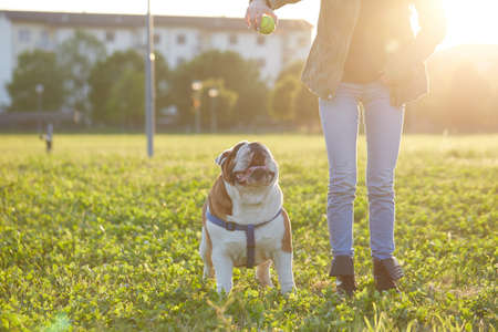 young Girl playing with English Bulldog at park