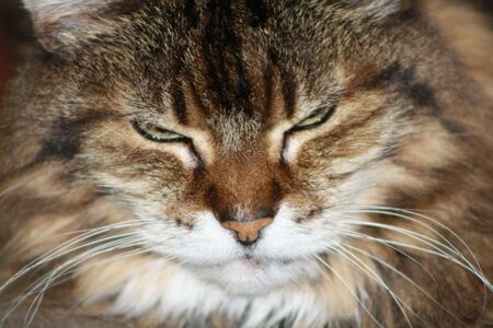 headshoot: Maine Coon