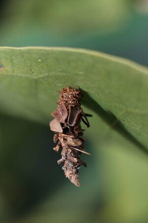 caterpillar sac.  Eumeta is a genus of bagworm moths Reklamní fotografie