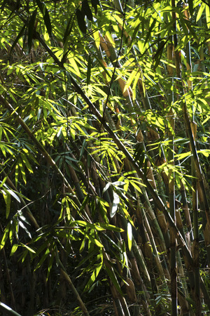 tropica: Bamboo Forest Stock Photo