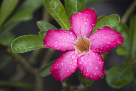 obesum balf adenium: Adenium Flower