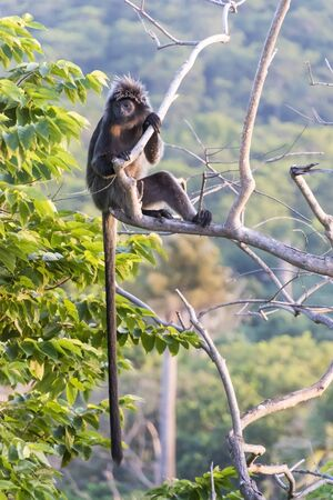 auratus: The Javan lutung (Trachypithecus auratus), also known as the ebony lutung and Javan langur in East Java forest