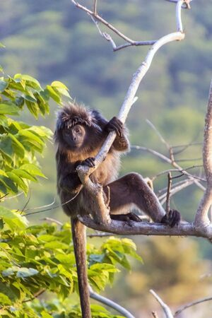 ebony: The Javan lutung (Trachypithecus auratus), also known as the ebony lutung and Javan langur in East Java forest