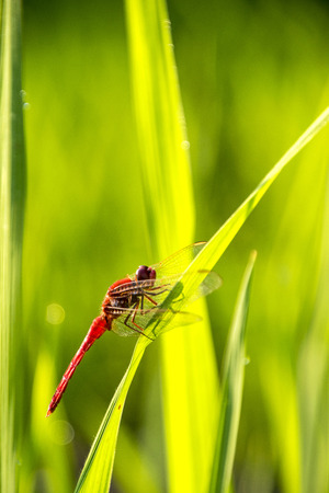 crocothemis: Red dragonfly alighted on a green grass Stock Photo