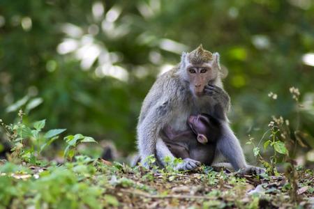 Crabier macaque (Macaca fascicularis), allaitant son enfant