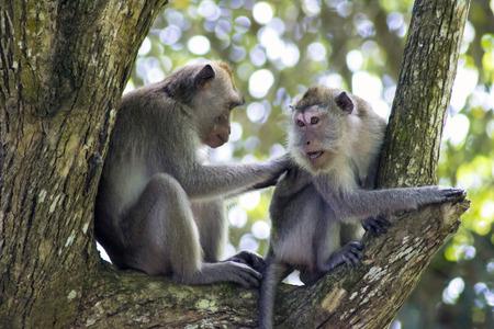 Les singes étaient à la recherche des poux