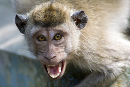 Angry wild monkey (long-tailed macaque) close up