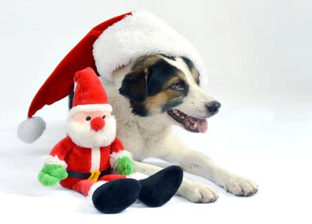 Dogdog suédois danois avec le bonnet du Père Noël couché à côté d'un jouet de Santa Banque d'images