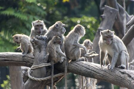 Group of Long-tailed macaque (Macaca fascicularis) sitting at a tree