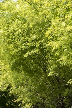 Contexte des bambous verts