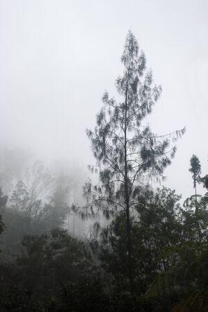 silhouette des arbres de pin